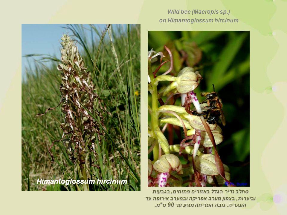 Himantoglossum hircinum סחלב נדיר הגדל באזורים פתוחים, בגבעות וביערות, בצפון מערב אפריקה ובמערב אירופה עד הונגריה.