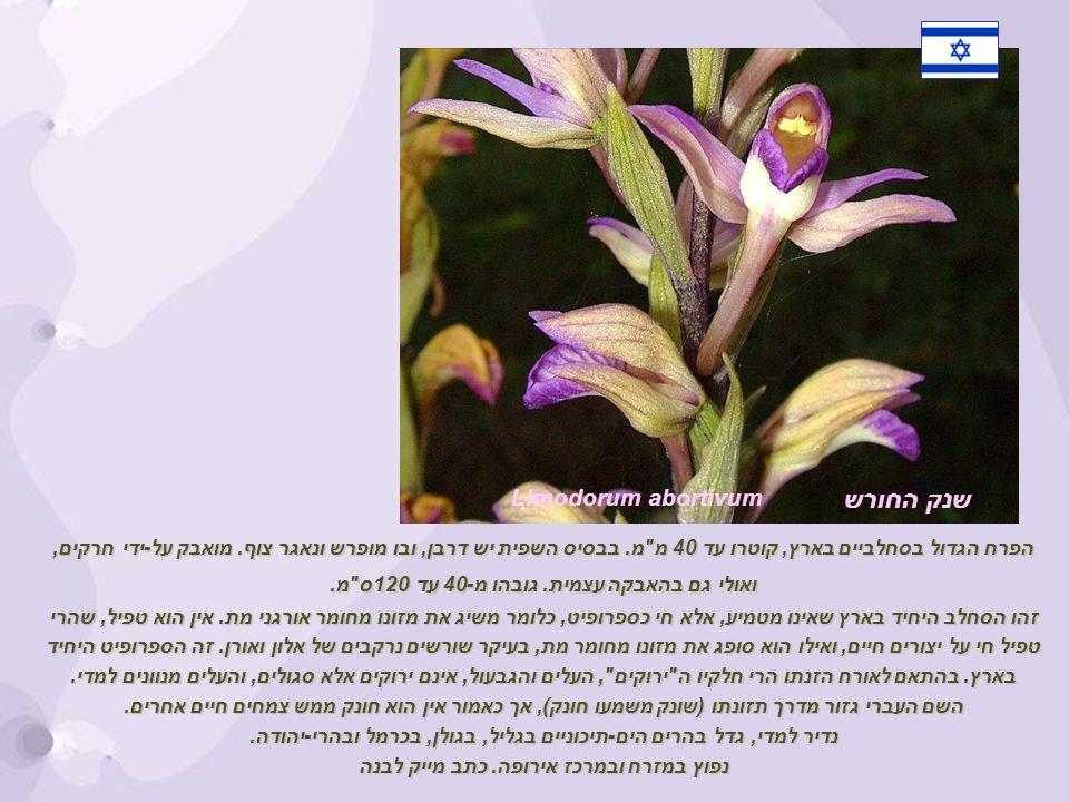 שנק החורש Limodorum abortivum הפרח הגדול בסחלביים בארץ, קוטרו עד 40 מ מ.