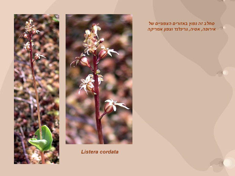 Listera cordata סחלב זה נפוץ באזורים הצפוניים של אירופה, אסיה, גרינלנד וצפון אמריקה