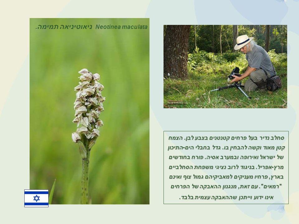 סחלב נדיר בעל פרחים קטנטנים בצבע לבן.הצמח קטן מאוד וקשה להבחין בו.