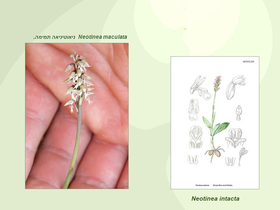 . Neotinea maculata ניאוטיניאה תמימה. Neotinea intacta
