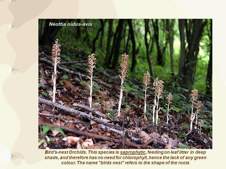 Bird s-nest Orchids.