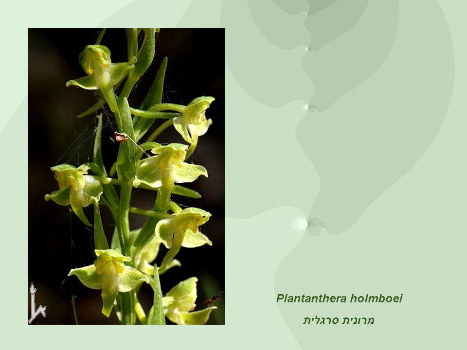 Plantanthera holmboei מרונית סרגלית