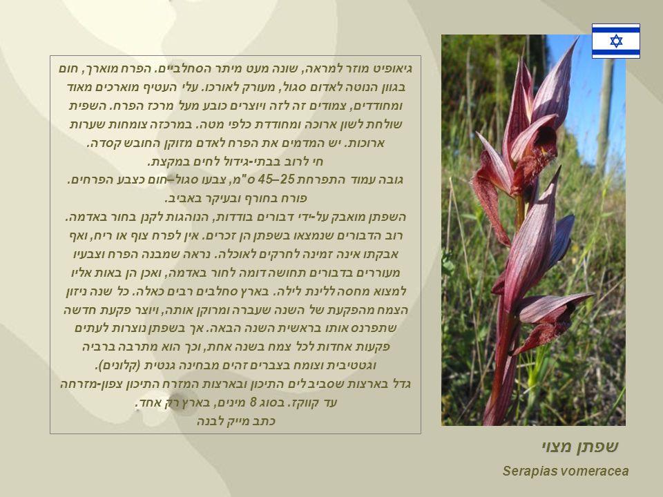 Serapias vomeracea שפתן מצוי גיאופיט מוזר למראה, שונה מעט מיתר הסחלביים.