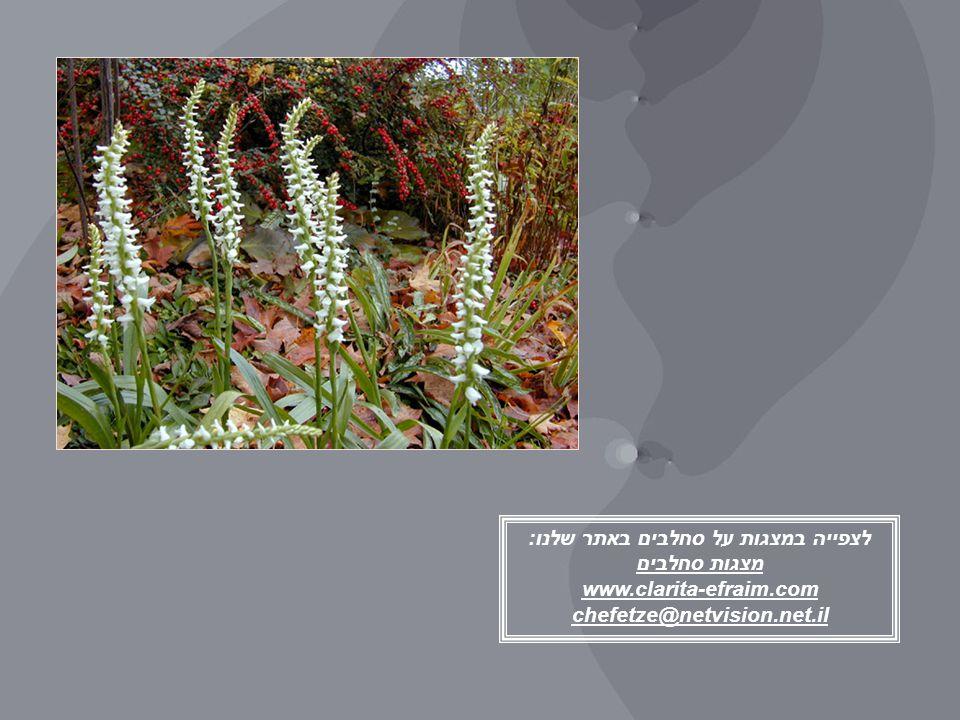 לצפייה במצגות על סחלבים באתר שלנו: מצגות סחלבים www.clarita-efraim.com chefetze@netvision.net.il