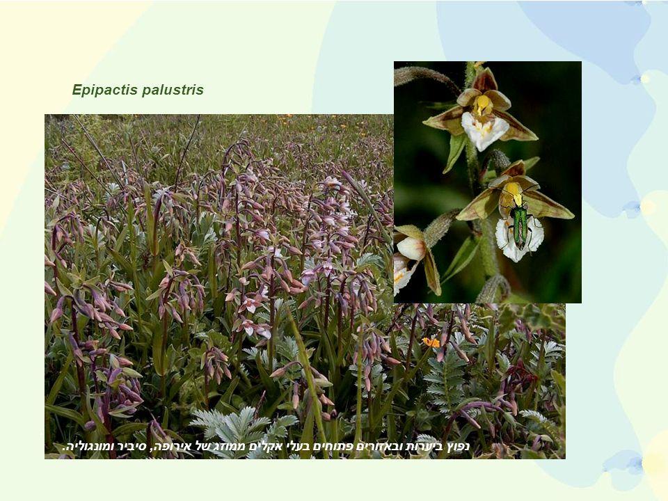 Epipactis palustris נפוץ ביערות ובאזורים פתוחים בעלי אקלים ממוזג של אירופה, סיביר עד מונגוליה.