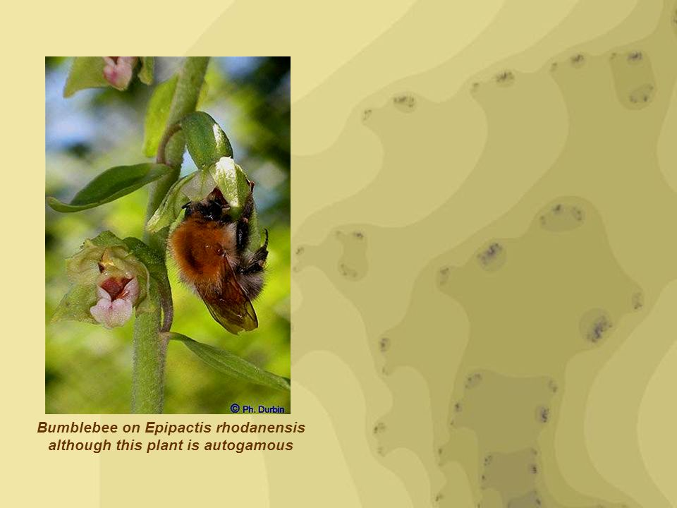 Bumblebee on Epipactis rhodanensis although this plant is autogamous