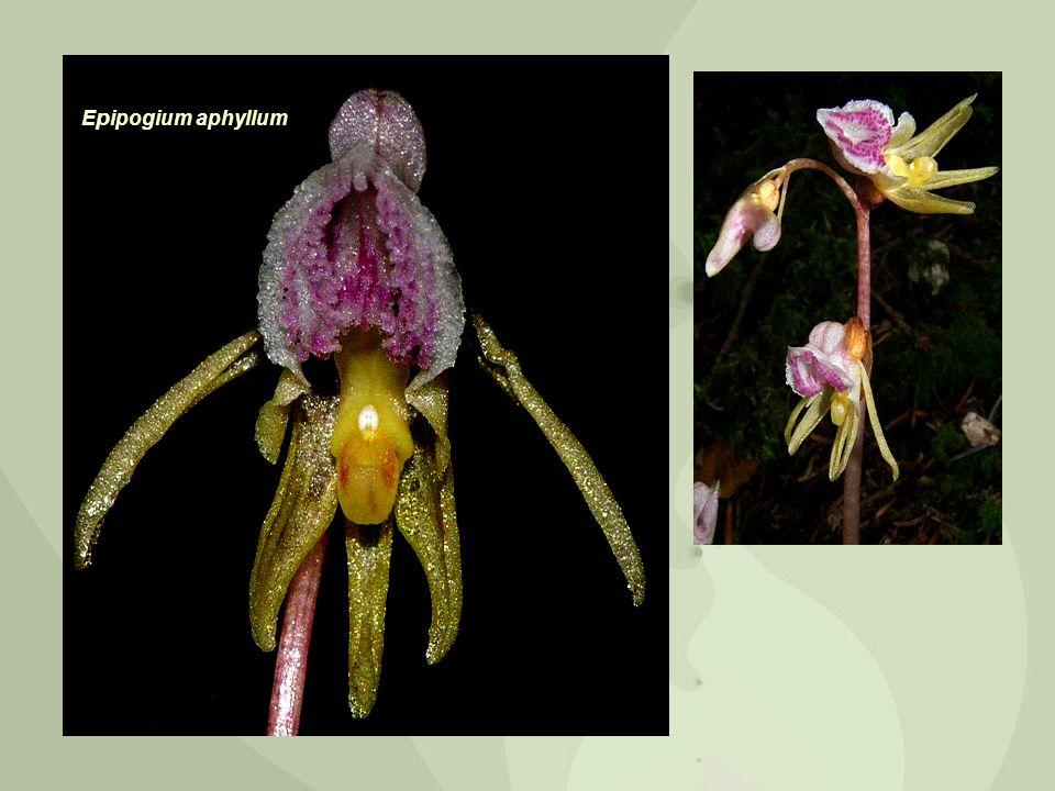 E p ipogium aphyllum