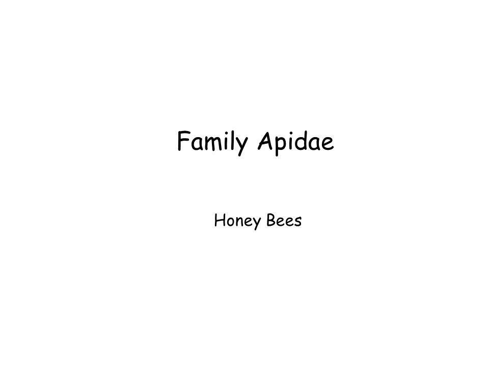 Family Apidae Honey Bees