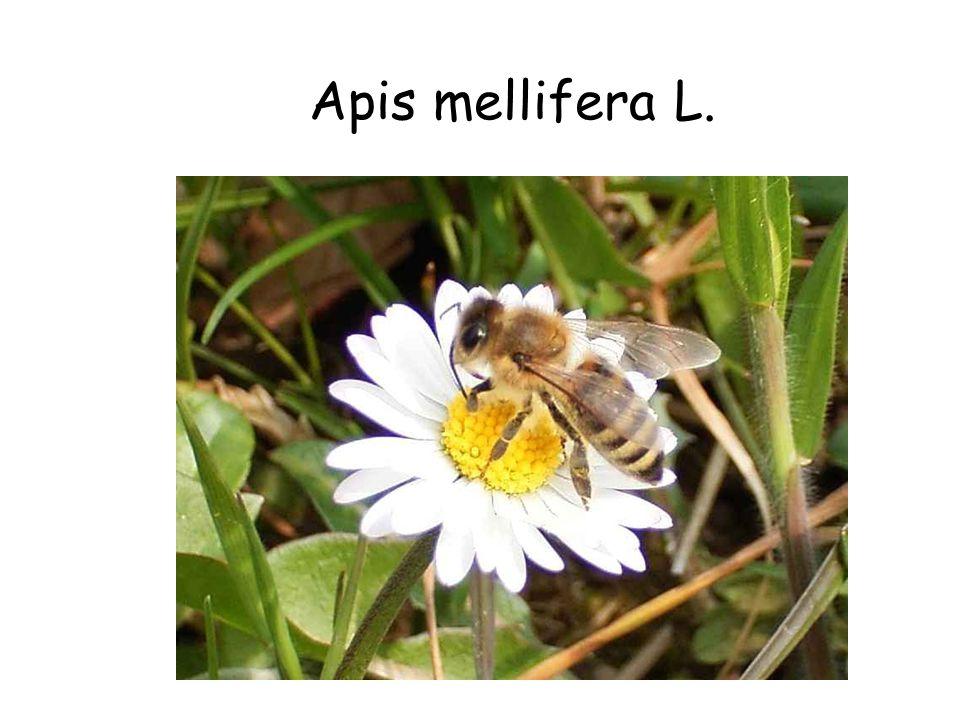 Apis mellifera L.