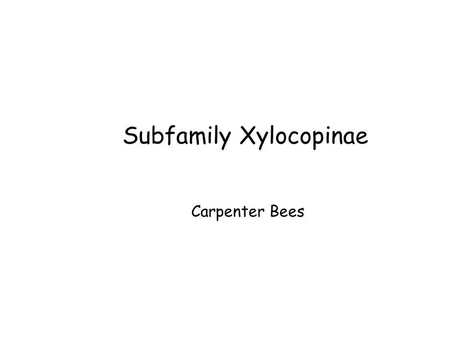 Subfamily Xylocopinae Carpenter Bees