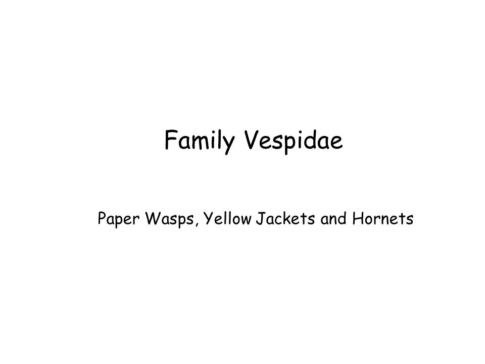 Family Vespidae Paper Wasps, Yellow Jackets and Hornets
