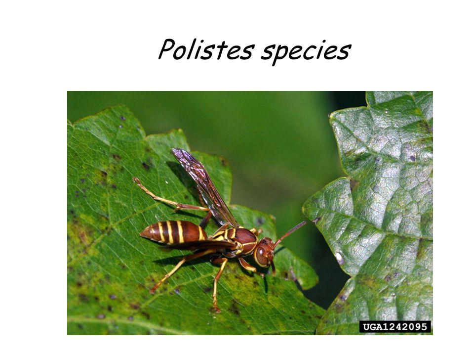 Polistes species