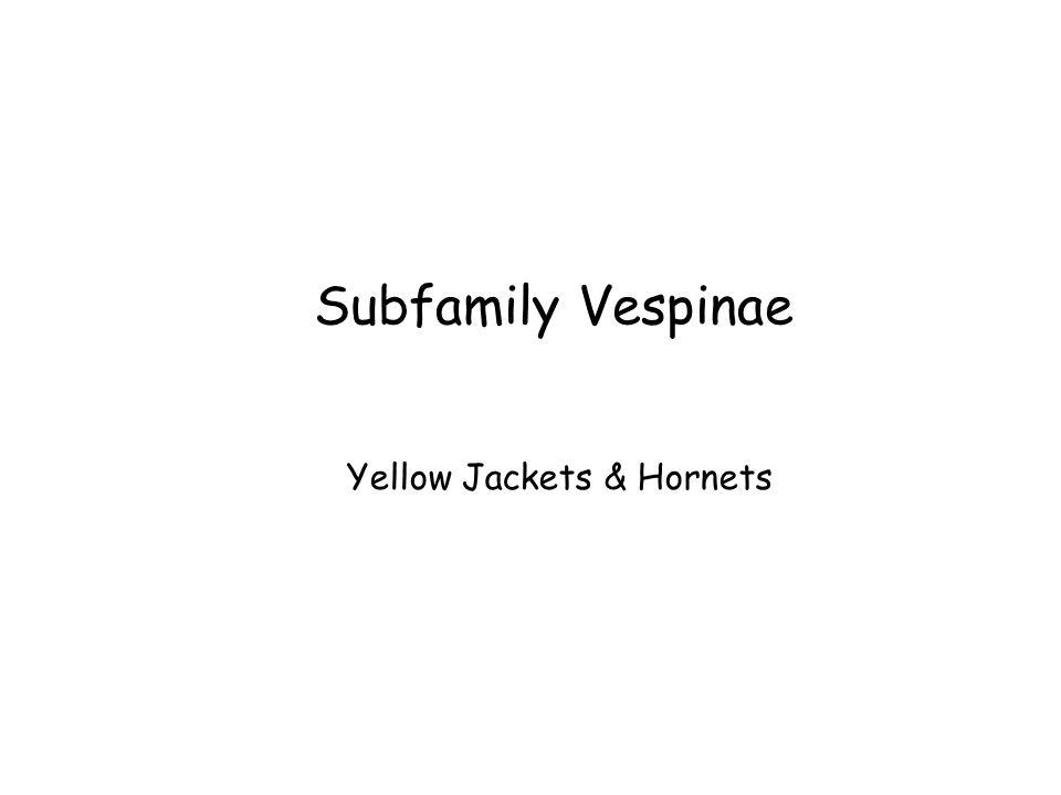 Subfamily Vespinae Yellow Jackets & Hornets