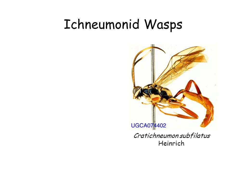 Ichneumonid Wasps Cratichneumon subfilatus Heinrich