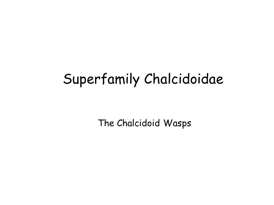 Superfamily Chalcidoidae The Chalcidoid Wasps