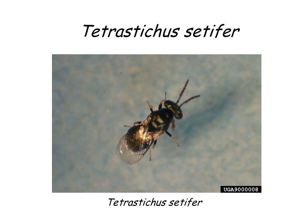 Tetrastichus setifer