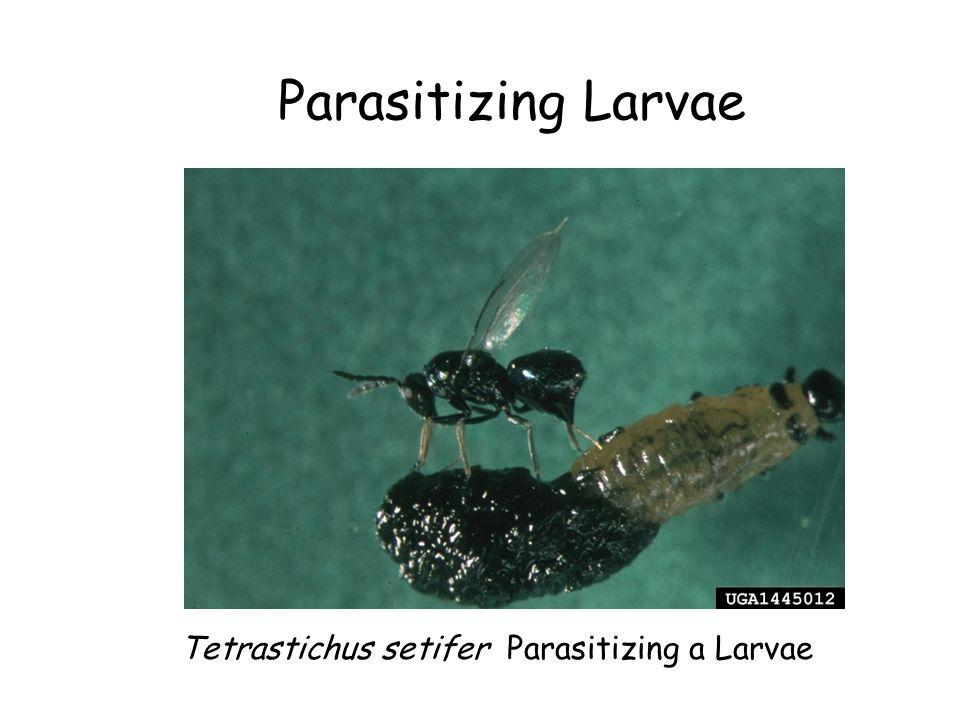Parasitizing Larvae Tetrastichus setifer Parasitizing a Larvae