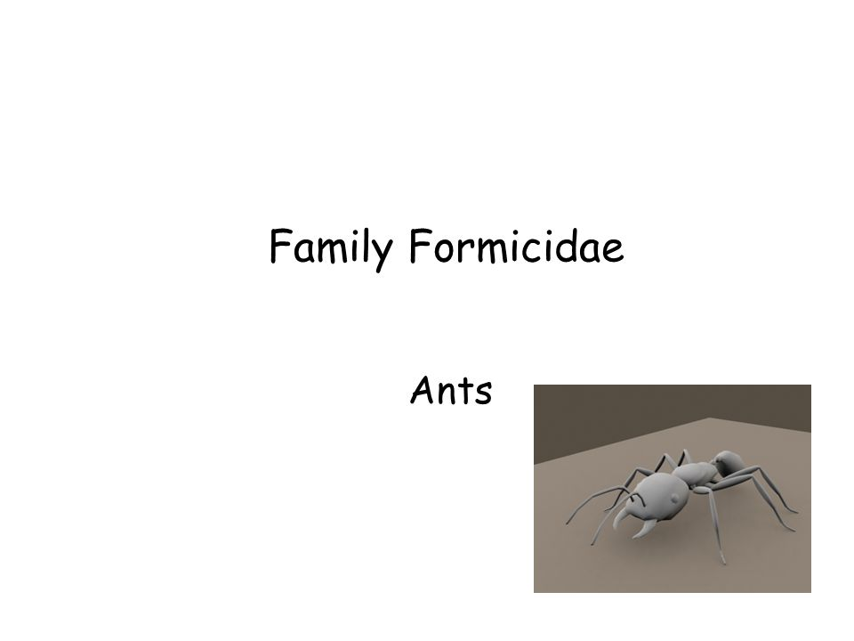 Family Formicidae Ants