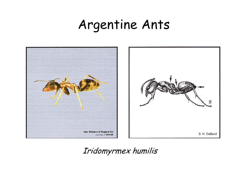 Argentine Ants Iridomyrmex humilis