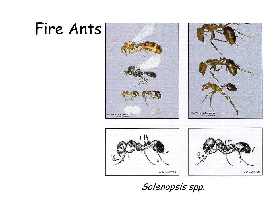 Fire Ants Solenopsis spp.