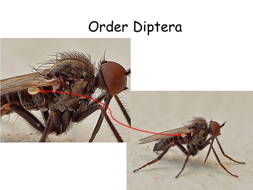 Order Diptera Halteres