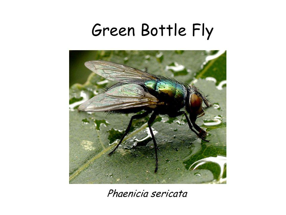 Green Bottle Fly Phaenicia sericata