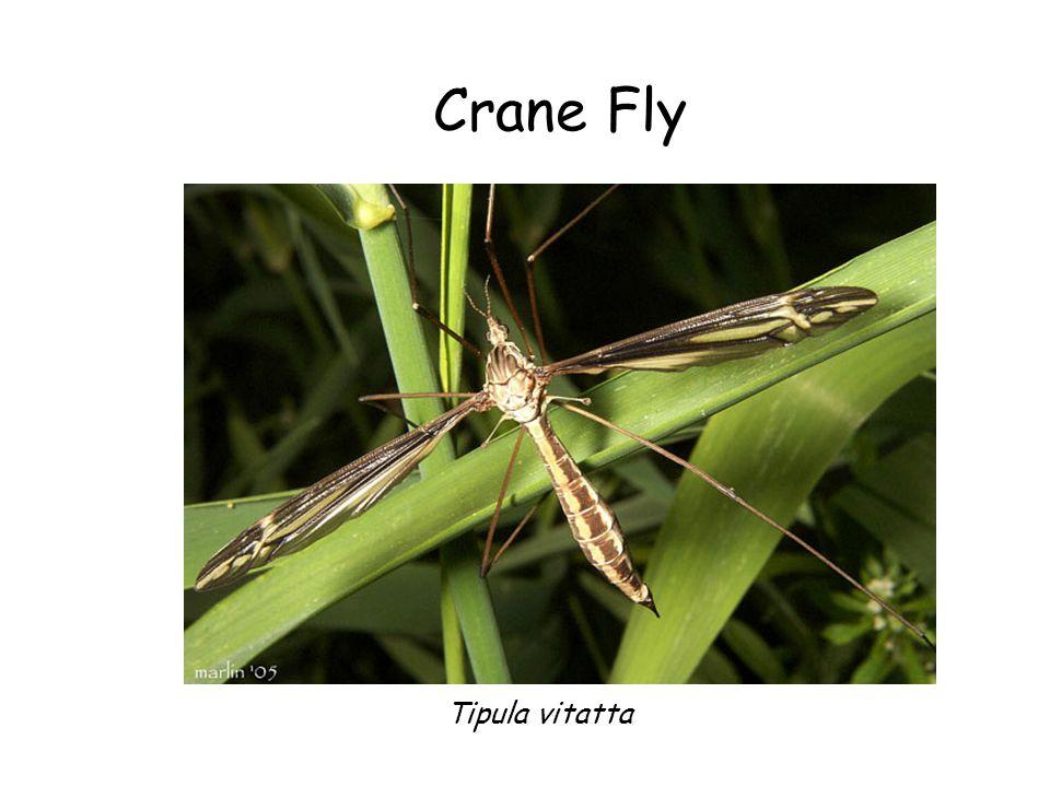 Crane Fly Tipula vitatta