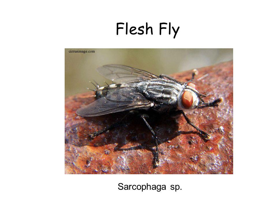 Flesh Fly Sarcophaga sp.