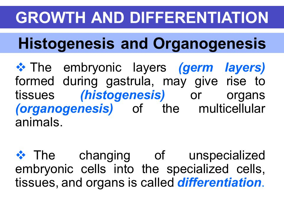 Histogenesis and Organogenesis  The embryonic layers (germ layers) formed during gastrula, may give rise to tissues (histogenesis) or organs (organog