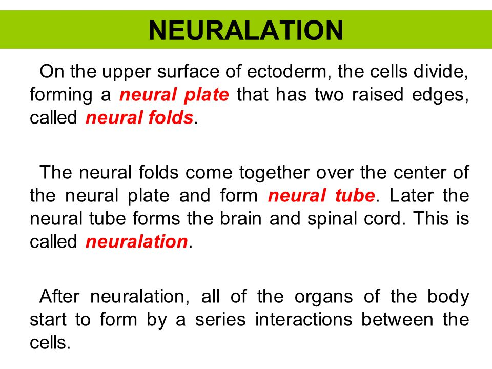 NEURALATION On the upper surface of ectoderm, the cells divide, forming a neural plate that has two raised edges, called neural folds. The neural fold