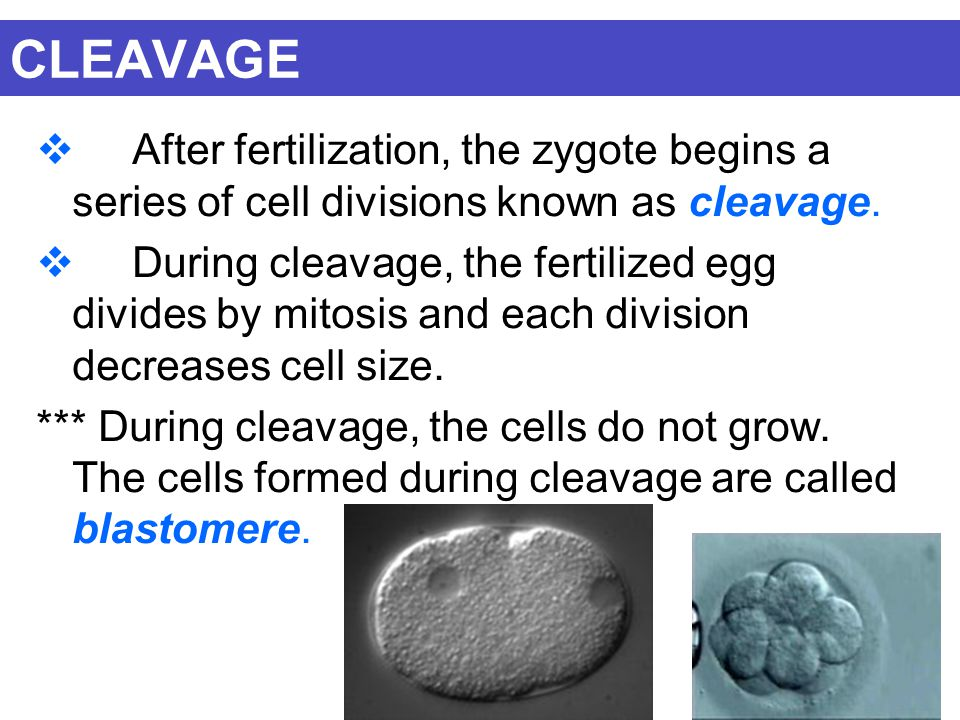 CLEAVAGE  After fertilization, the zygote begins a series of cell divisions known as cleavage.  During cleavage, the fertilized egg divides by mitos