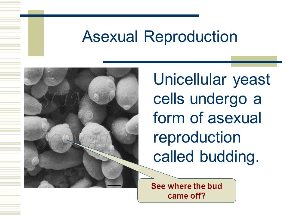 Asexual Reproduction Unicellular yeast cells undergo a form of asexual reproduction called budding. See where the bud came off?