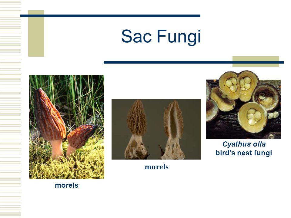 Sac Fungi morels Cyathus olla bird's nest fungi