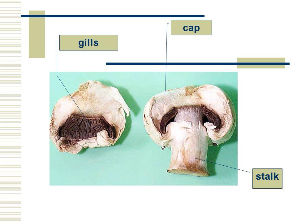 gills cap stalk