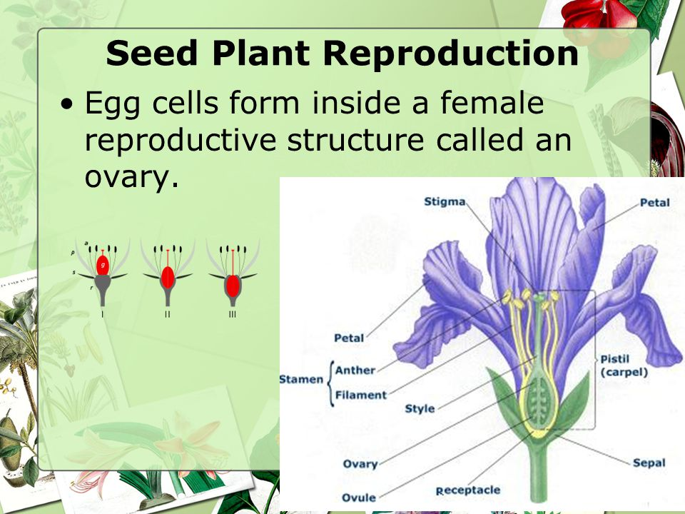 Seed Plant Reproduction Egg cells form inside a female reproductive structure called an ovary.