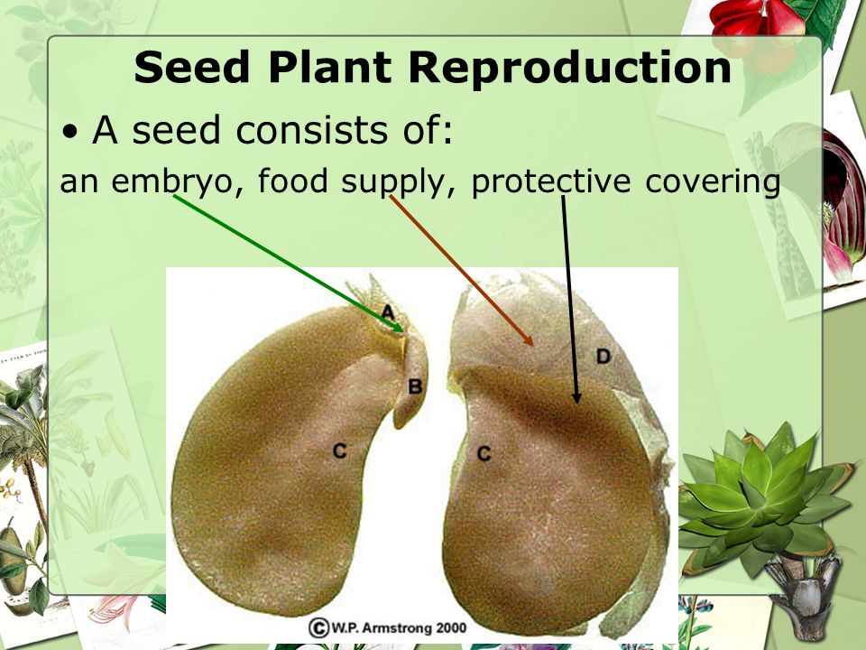 A seed consists of: an embryo, food supply, protective covering