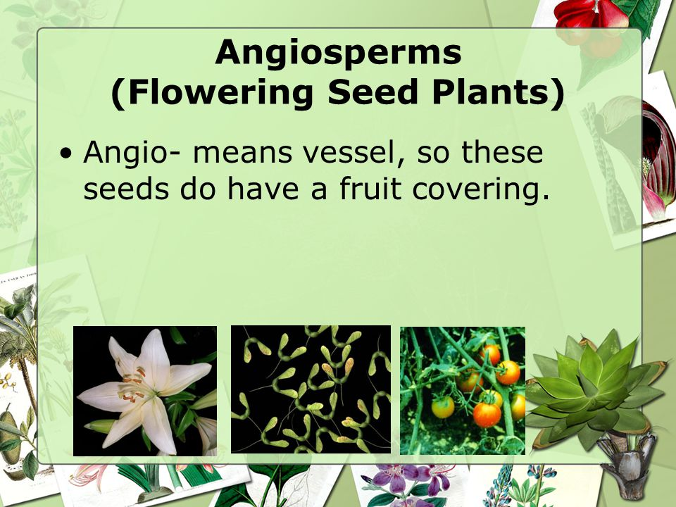 Angiosperms (Flowering Seed Plants) Angio- means vessel, so these seeds do have a fruit covering.