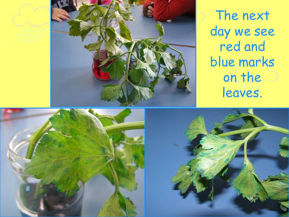 The next day we see red and blue marks on the leaves.