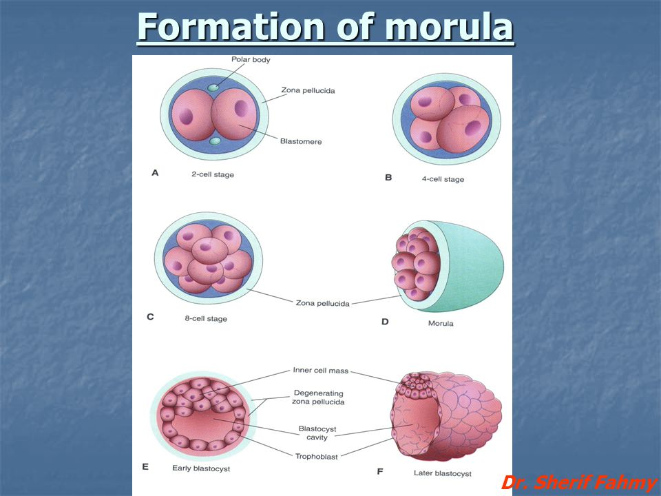 Formation of morula Dr. Sherif Fahmy