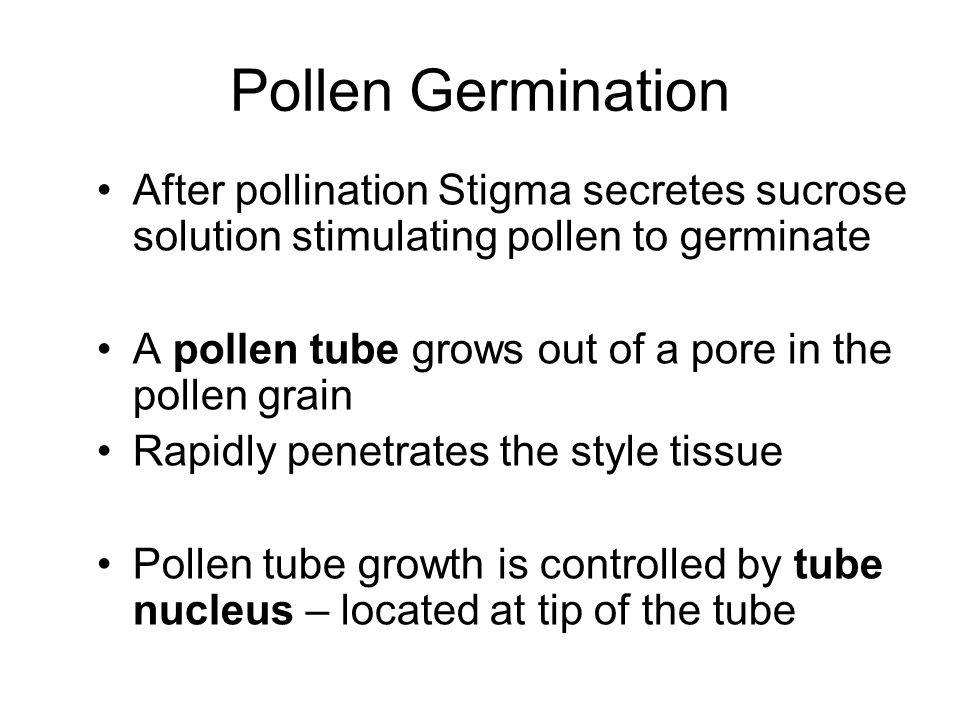 Pollen Germination After pollination Stigma secretes sucrose solution stimulating pollen to germinate A pollen tube grows out of a pore in the pollen grain Rapidly penetrates the style tissue Pollen tube growth is controlled by tube nucleus – located at tip of the tube