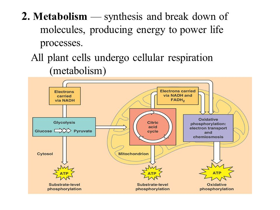 2. Metabolism — synthesis and break down of molecules, producing energy to power life processes.