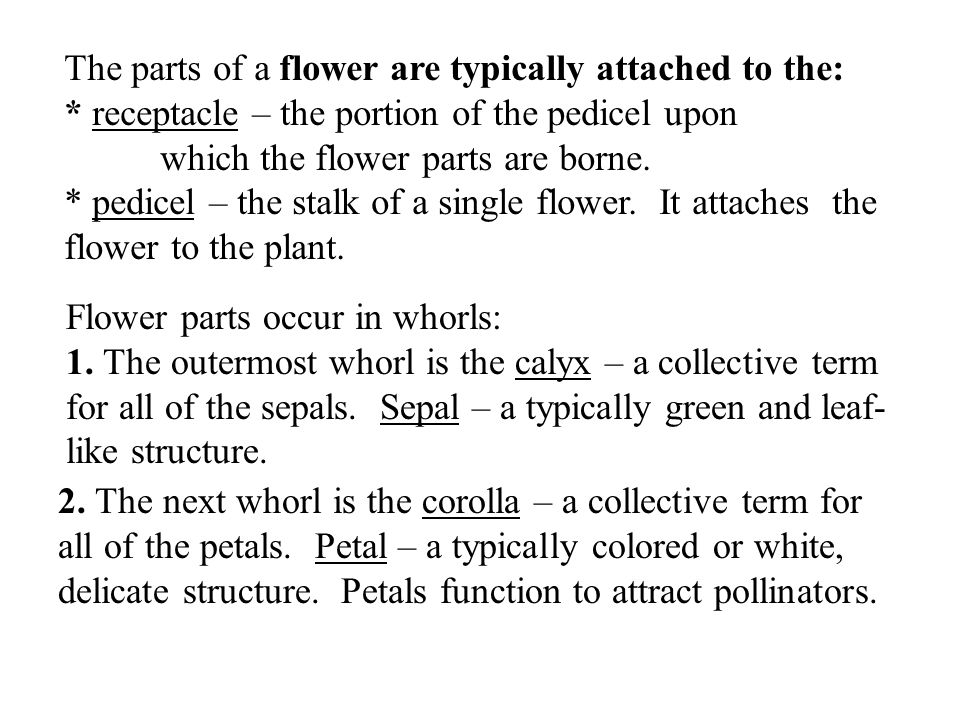 The parts of a flower are typically attached to the: * receptacle – the portion of the pedicel upon which the flower parts are borne.