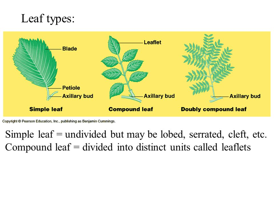 Leaf types: Simple leaf = undivided but may be lobed, serrated, cleft, etc.