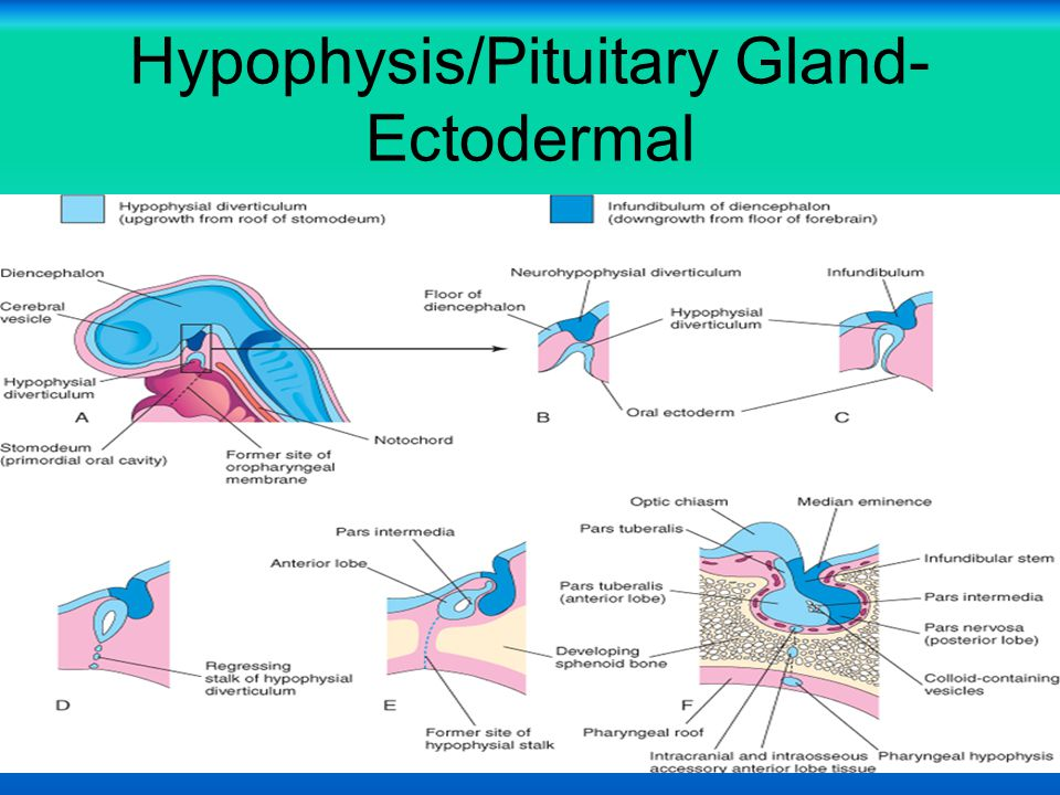 Hypophysis/Pituitary Gland- Ectodermal