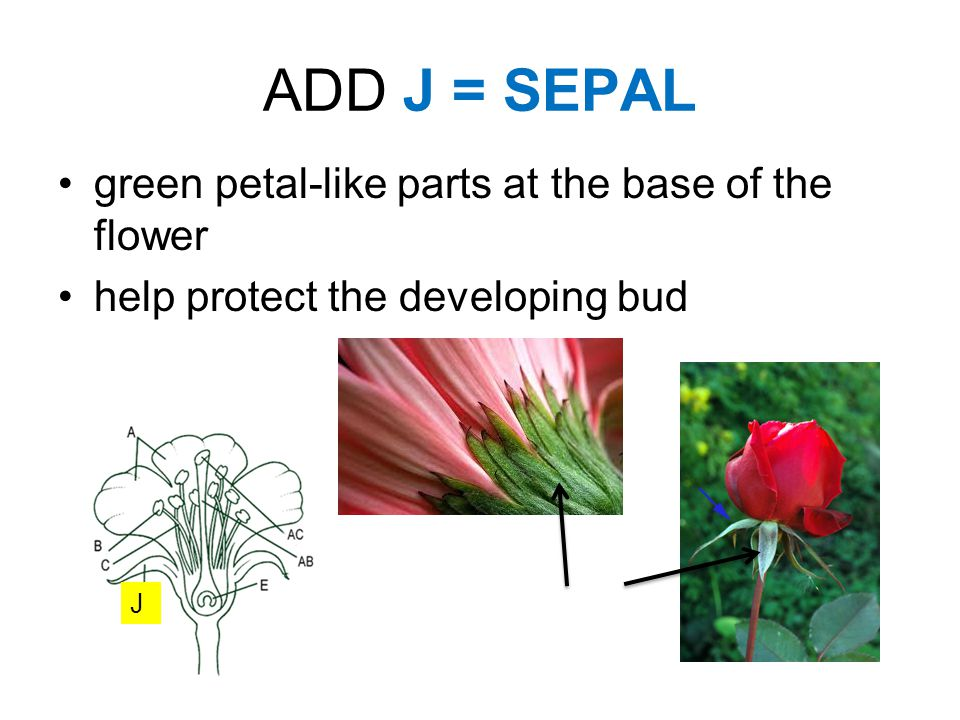 ADD J = SEPAL green petal-like parts at the base of the flower help protect the developing bud J