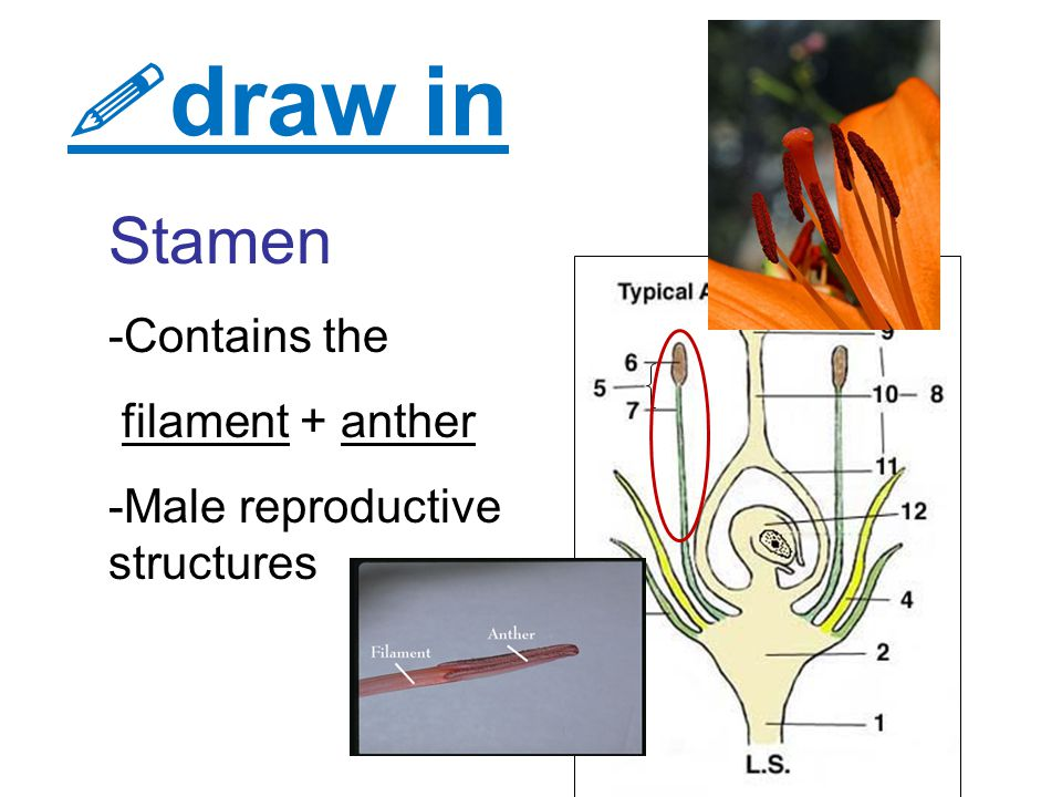  draw in Stamen -Contains the filament + anther -Male reproductive structures
