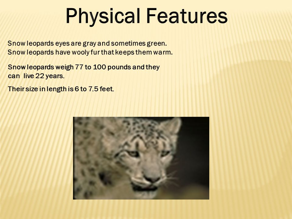 Snow leopards weigh 77 to 100 pounds and they can live 22 years.