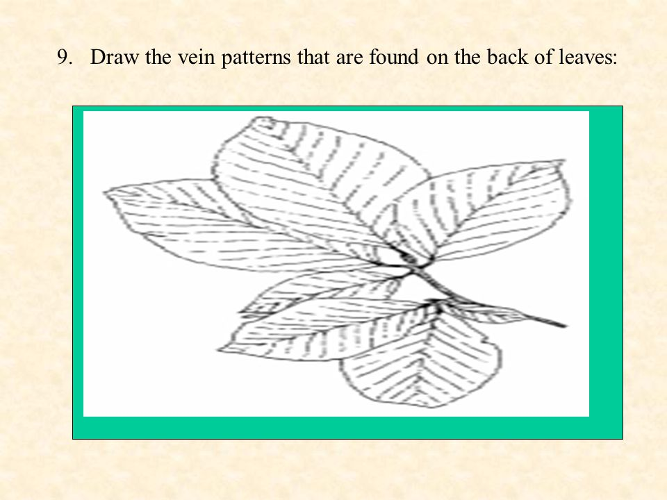 9.Draw the vein patterns that are found on the back of leaves: