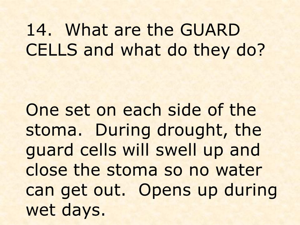 14. What are the GUARD CELLS and what do they do.